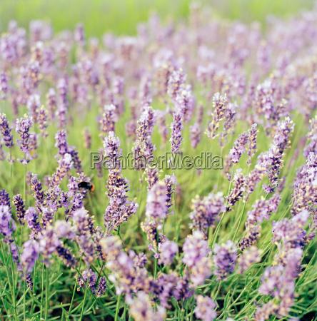 eine hummeln von lavendelpflanzen auf einem