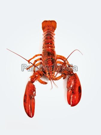 lobster against white background