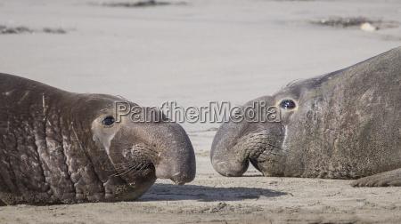 adult male elephant seals mirounga angustirostris