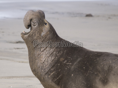 adult male elephant seal bull mirounga