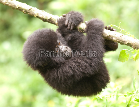 young mountain gorilla hanging on a