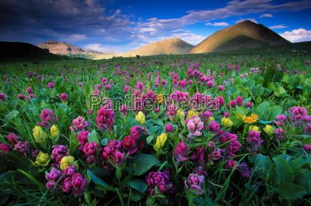 blumen und berge im nachmittagslicht colorado