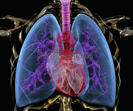 transparent human chest showing heart and