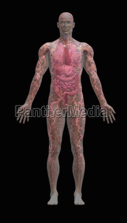 transparenter maennlicher koerper zeigt innere organe