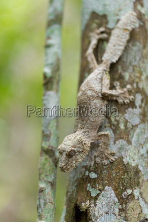 perfekt maskiert moosigen blatt angebundener gecko