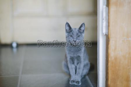russian blue cat looking at camera