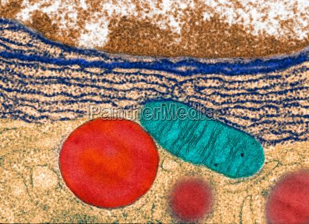 transmission electron micrograph pancreas
