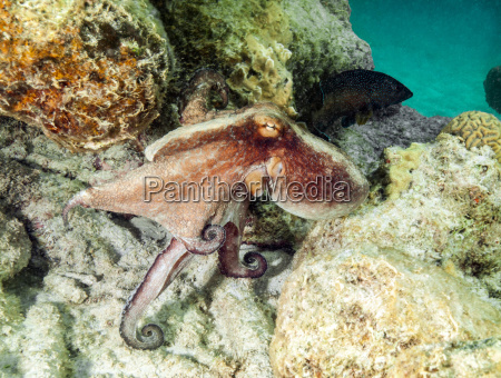 octopus swimming at underwater reef