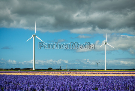 modern wind turbines and blossoming bulb