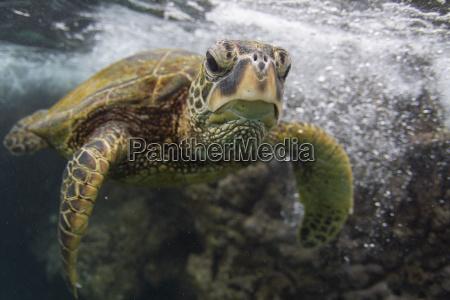 underwater portrait of turtle swimming in