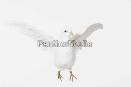 close up of white dove flying