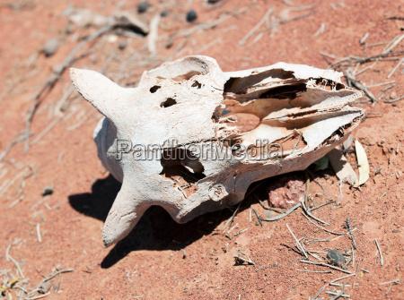 animal skull in the gawler ranges