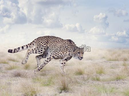 gepard in der wiese laufen