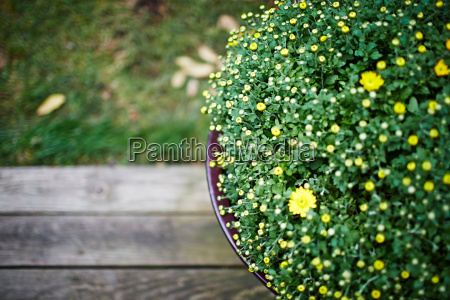 pot plant with yellow flowers high