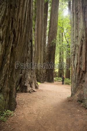 mature man in redwoods national park