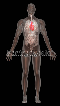 computer graphic illustration normal male anatomy