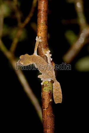 a leaf tailed gecko on a