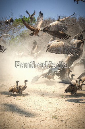 wild dog and vultures competing for