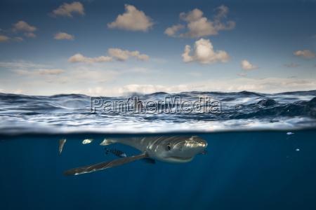 blue shark cork ireland