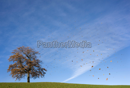 falling leaves and oak tree in