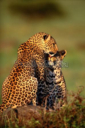 tier afrika kenia zuneigung outdoor freiluft