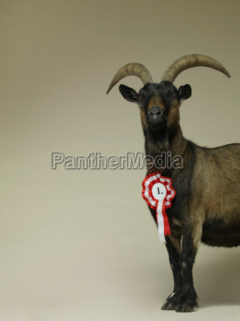 studio portrait of goat wearing rosette