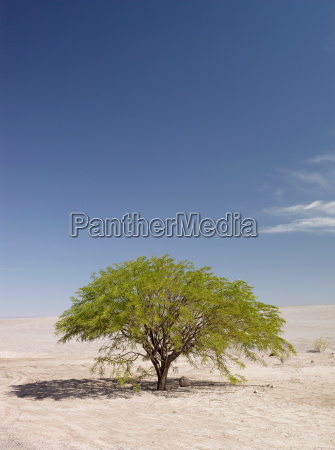 a loan tree in the atacama