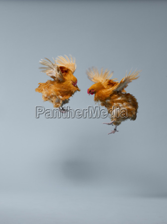 chickens flying in air