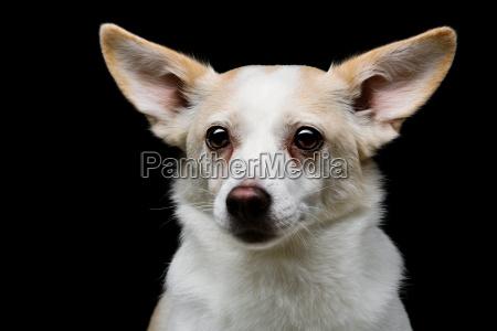 metis hund auf schwarzem hintergrund