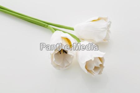 schoene weisse tulpe blumen