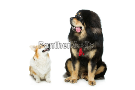 corgi und mastiff hunde