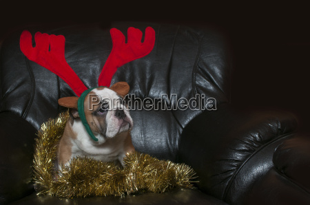 weihnachtszeit christmas bulldogge bulldog heiligabend heilig
