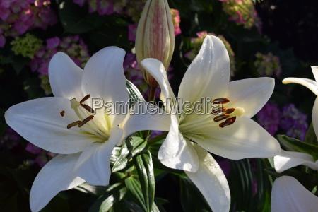 lilie lilienbluete bluete weiss gross strahlend