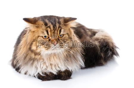 kitten isolated on white background studio