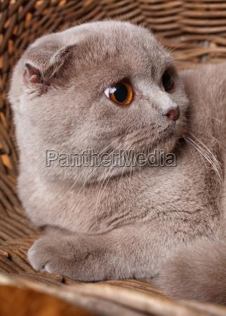 portraet graue katze mit gelben augen