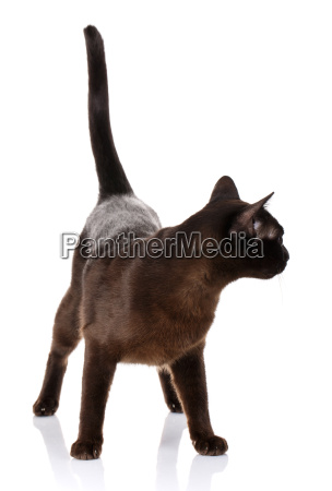 seitenansicht einer schwarzen katze auf weissem