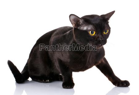 schwarze katze hockte auf einem weissen