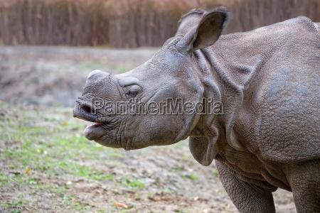 rhino in a clearing a portrait