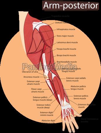 muskeln muskel glied anatomie unterarm oberes
