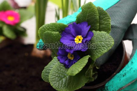 primula spring flowers