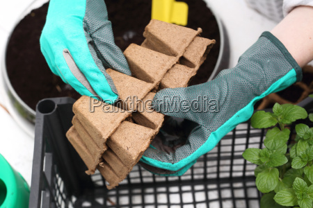 sowing plants at home peat pot