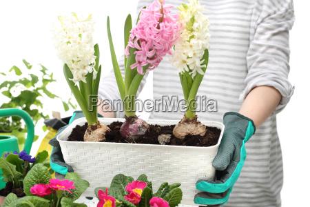 hyazinthen fruehlingsblumenarrangement