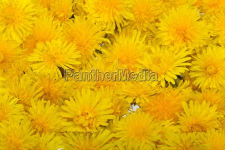 schoene gelbe blume von loewenzahn