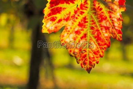 weinblatt rot und gruen im