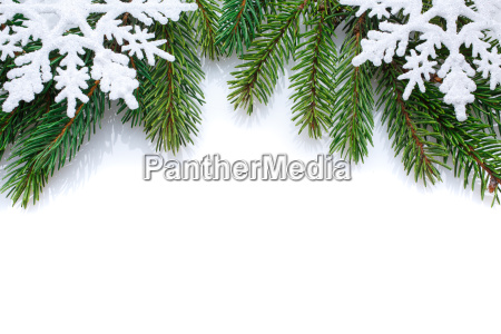 branch of christmas tree on a