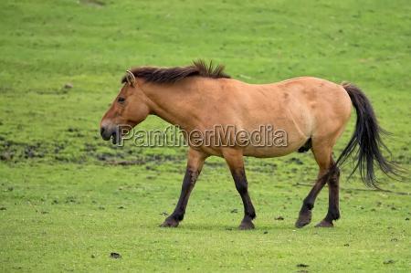 przewalski pferd auf der flucht