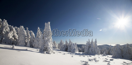 snow covered pine trees in the