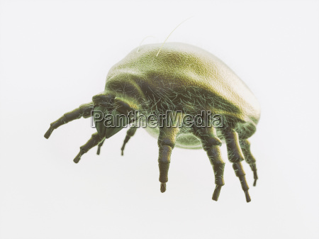 isolated mite