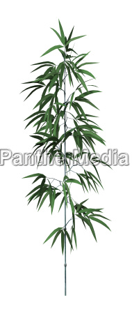 3d rendering bamboo tree on white