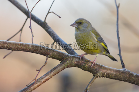 gruenfink